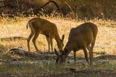Bucks σε Yosemite Στοκ φωτογραφίες με δικαίωμα ελεύθερης χρήσης