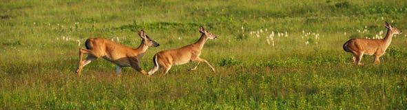 bucks τρέχοντας νεολαίες Στοκ φωτογραφία με δικαίωμα ελεύθερης χρήσης