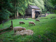 Bucks County Sheep Pasture and Old Wooden Mill. 18th farm and its wooden mill with a small herd of Dolly sheep in the foreground grazing Stock Photography