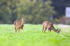 Bucks deer in a clearing Royalty Free Stock Photo