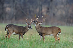 Bucks in field Stock Photo