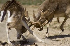 Bucks with issues. Bucks figthing and clashing antlers Royalty Free Stock Photo