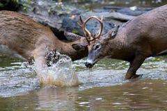 Bucks jousting. In a pond locking horns deer fighting Stock Photos
