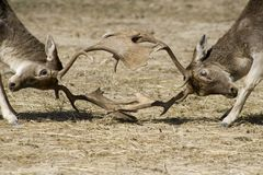 Bucks locking antlers. Bucks locking horns in combat Stock Images