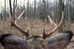 Bucks view Royalty Free Stock Image