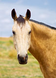 BuckSkin Australian StockHorse Royalty Free Stock Images