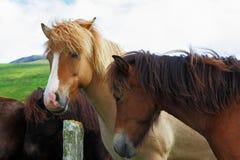 Buckskin and bay horses Royalty Free Stock Photo
