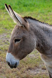 A buckskin color donkey at a local farm. Stock Image