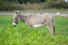 Buckskin Donkey in Rye Grass Stock Image