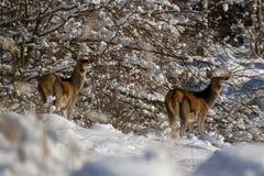 Buckskin in forest in winter Royalty Free Stock Photos