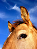 Buckskin Horse. Buckskin colt against blue sky, top half of face Stock Image