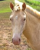 Buckskin Horse closeup. Horse in meadow, looking at you Stock Images