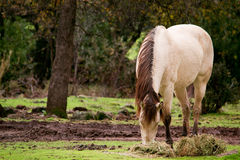 Buckskin horse eating grass Stock Photos