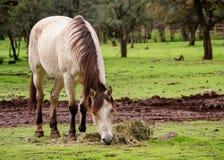 Buckskin horse eating grass Royalty Free Stock Photography
