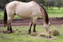 Buckskin horse eating grass Royalty Free Stock Photos