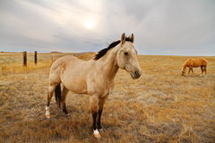 Buckskin Stock Photos