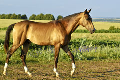 Buckskin horse walks on a green field Stock Photography