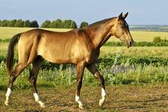 Buckskin horse walks on a green field Stock Photography