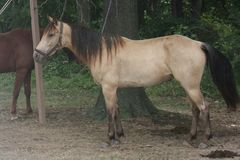 Buckskin  Horse. This horse was photographed at a civil war re-enactment camp Stock Photo