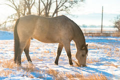 Buckskin Horse Winter stock images