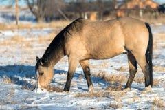 Buckskin Horse Winter royalty free stock photo