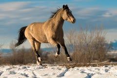 Buckskin Horse Winter stock photo