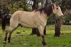 Buckskin konia brać siki Obrazy Royalty Free