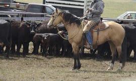 Buckskin Kwartalnego końskiego zachodniego rancho pracujący bydło obrazy royalty free