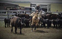 Buckskin Kwartalnego końskiego zachodniego rancho pracujący bydło fotografia stock