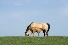Buckskin mare and foal Royalty Free Stock Photography