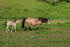 Buckskin Mare with her foal in a pasture. Mare with her offspring strolling in a green pasture during springtime Royalty Free Stock Photography