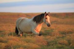 Buckskin Mustang Mare Stock Photos