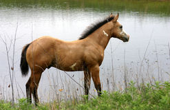 Buckskin Paint Colt at Pond. Young buckskin overo stud colt  standing in dried reeds beside stock pond, on overcast summer day, breeze blowing through mane Royalty Free Stock Photography