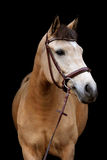 Buckskin pony portrait on black background Royalty Free Stock Photography