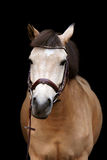 Buckskin pony portrait on black background. Buckskin cute pony portrait on black background Stock Photo