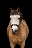Buckskin pony portrait on black background Royalty Free Stock Photos
