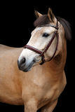 Buckskin pony portrait on black background. Buckskin cute pony portrait on black background Royalty Free Stock Photos