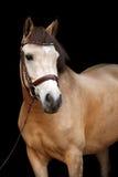Buckskin pony portrait on black background Stock Photo