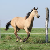 Buckskin quarter horse running on pasturage