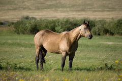 Buckskin quarter horse stallion Royalty Free Stock Images