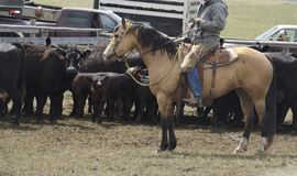 Buckskin Quarter horse western ranch working cattle royalty free stock images