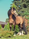 Buckskin welsh pony posing Stock Photos
