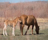 A Wild Buckskin Colored Mare and Her Colt. A buckskin wild mare and her colt in the Bighorn Canyon National Recreation Area. The mare is grazing while the colt Royalty Free Stock Image