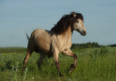 Buckskin wild stallion Royalty Free Stock Photography