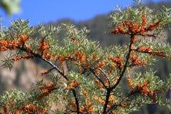 Buckthorn μούρα Στοκ Εικόνες