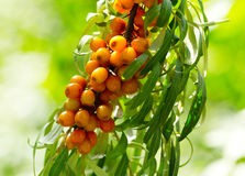 Buckthorn berries Royalty Free Stock Image