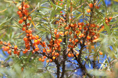 Buckthorn berries Royalty Free Stock Photography
