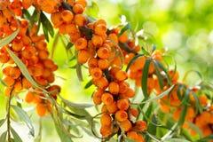 Buckthorn berries Stock Photos