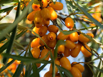 Buckthorn berries clouse-up on a tree Royalty Free Stock Photo