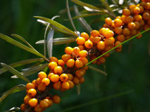Buckthorn. Branch of buckthorn berries in a garden Royalty Free Stock Images